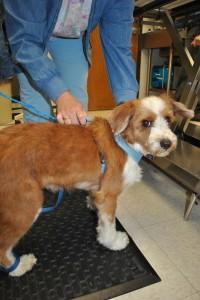 Tibetan terrier alopecia post quimio