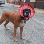 Hemangiosarcoma retroperitoneal canino Trisha